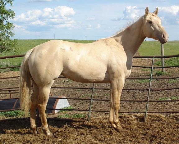 Gold Champagne Horse Aqha Gold Champagne